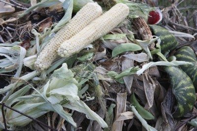Composting corn cobs and husks – learn how to compost corn plants