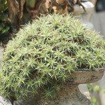 Dyckia Plant