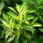 golden-euonymus-1