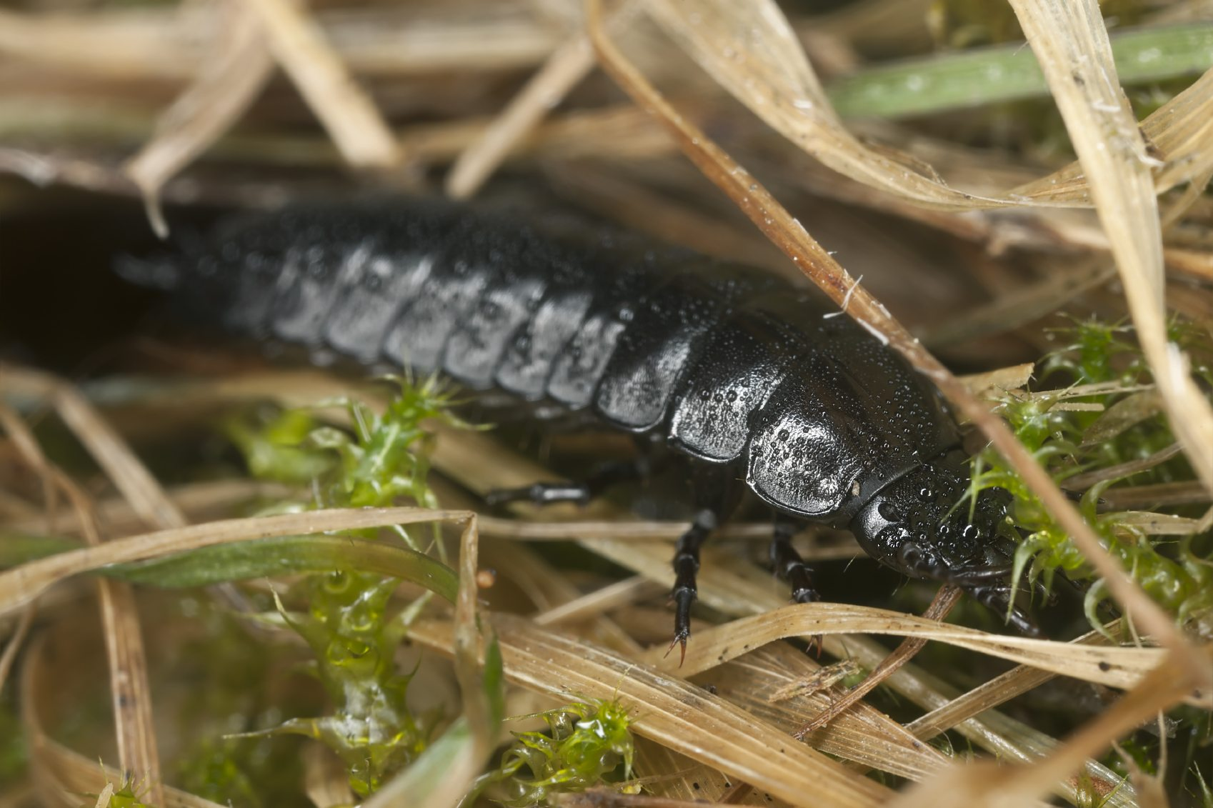 Ground Beetles In Gardens Learn About Ground Beetle Larvae And Eggs