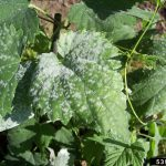 hops powdery mildew