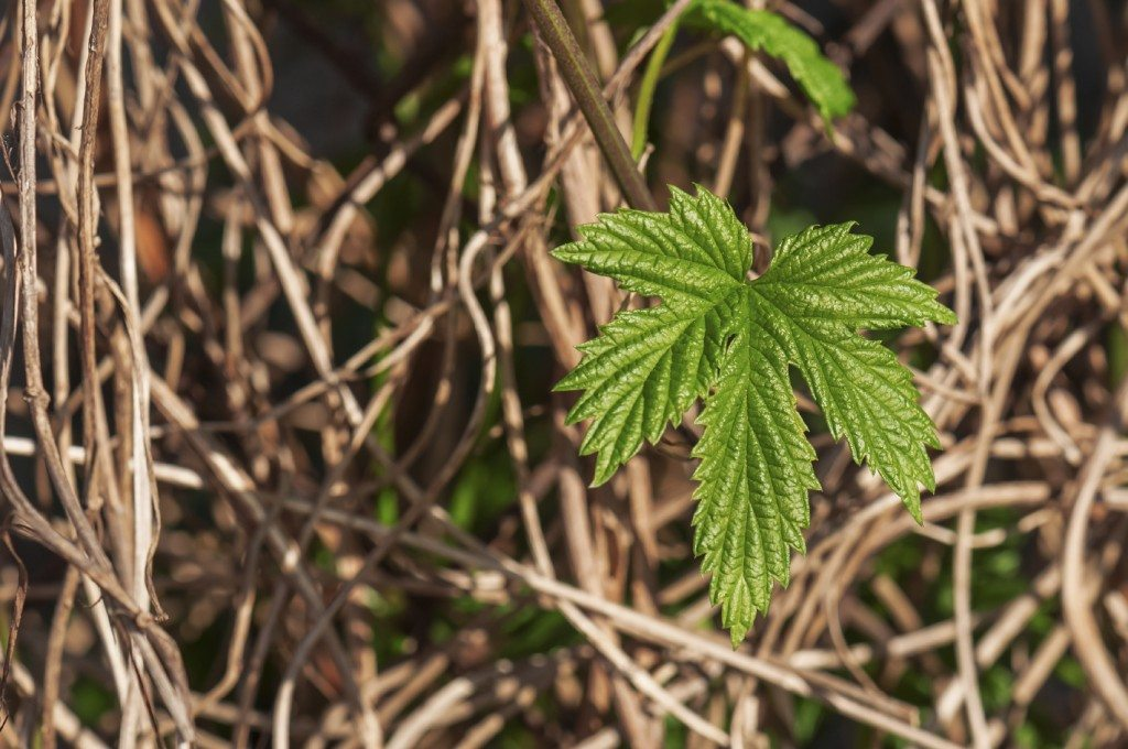 green and new leaf on dry old hops