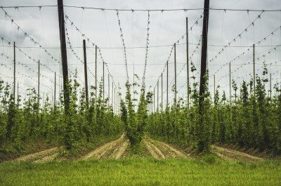 front view  of hops field growing at summer cloudy day