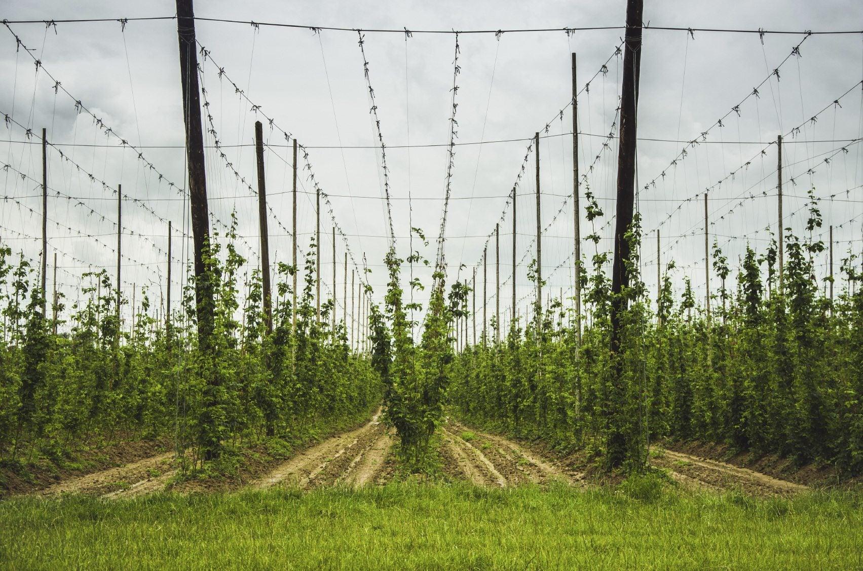 Best support for hops plant tips on building a trellis for Hops garden designs