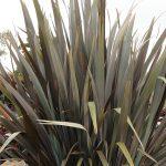 new zealand flax