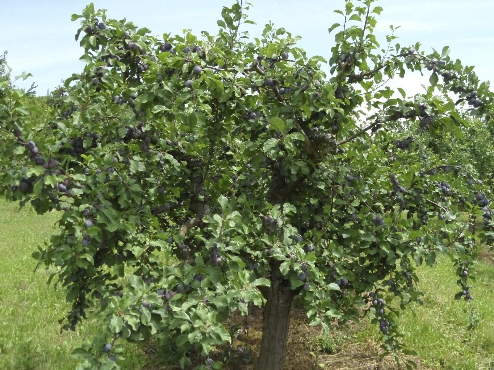 Rejuvenating old fruit trees information on restoring for Fruit trees