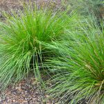 ornamental grass propagation