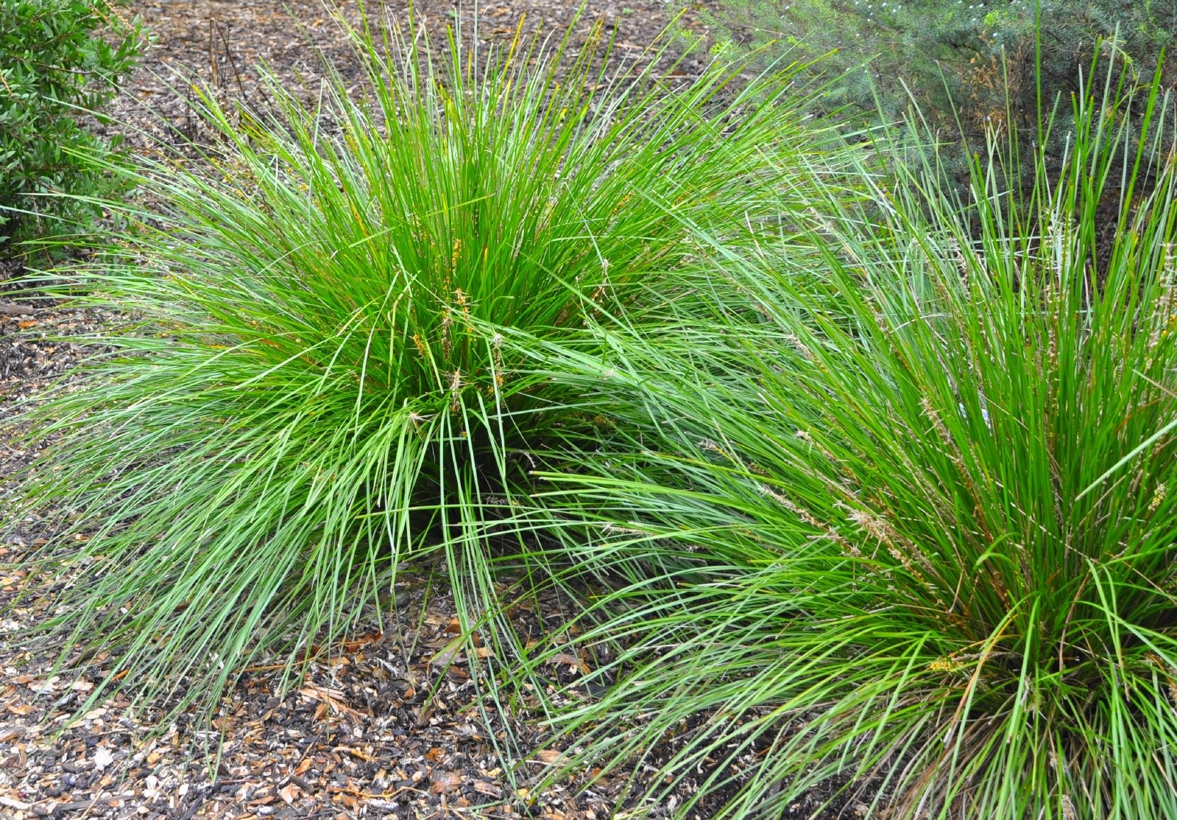 Ornamental grass propagation learn about the propagation for Garden design ornamental grasses