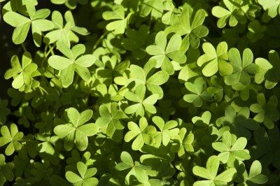 Oxalis weed control techniques types of oxalis weeds and their managing oxalis weeds how to get rid of oxalis weeds in the lawn mightylinksfo
