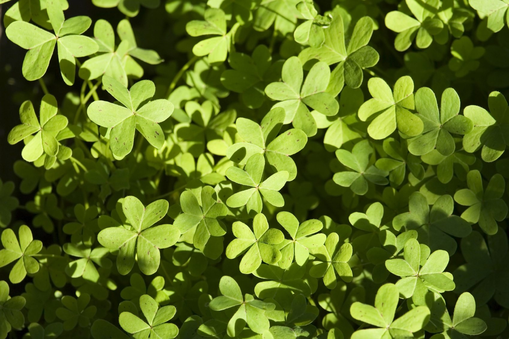 Oxalis Weed Control Techniques Types Of Oxalis Weeds And Their
