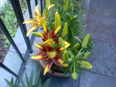 Hardy lily, oriental 'mona lisa' degroot.