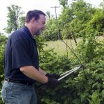 A organic farmer pruning his raspberry plants.
