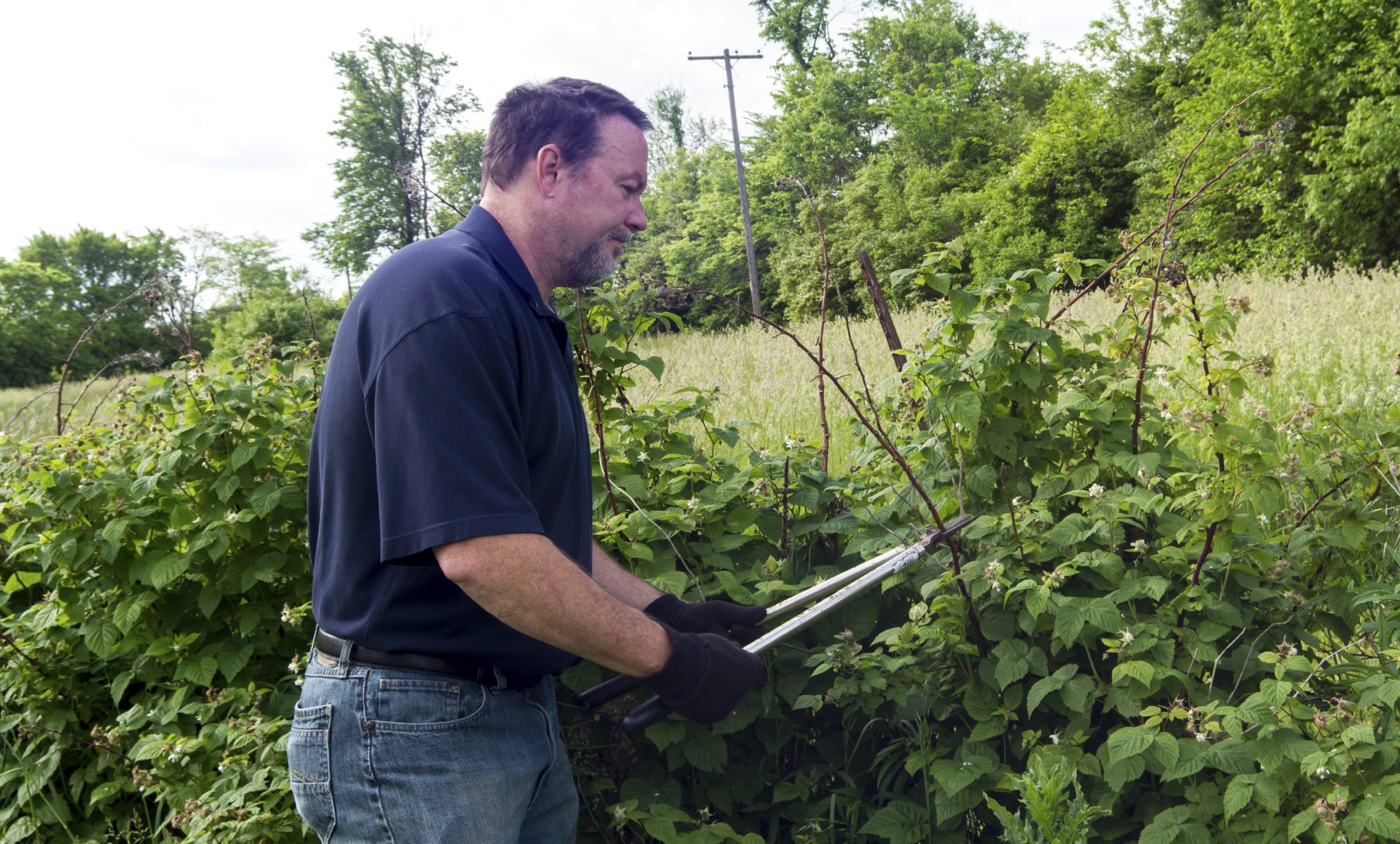 cutting back black raspberries  u2013 tips on pruning black