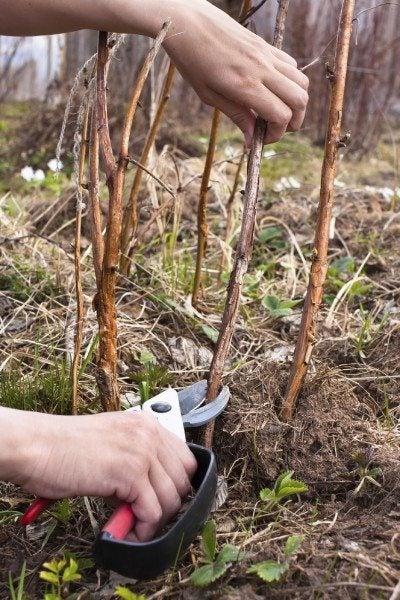 The garden pruner in women's hand