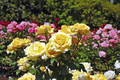 Beautiful yellow spring roses in full bloom