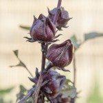 roselle seed