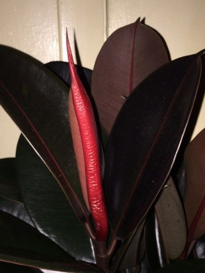 Red sheath on ficus: does rubber plant flower