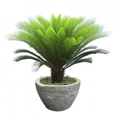 Feeding Sago Palms Tips On Fertilizing A Palm Plant
