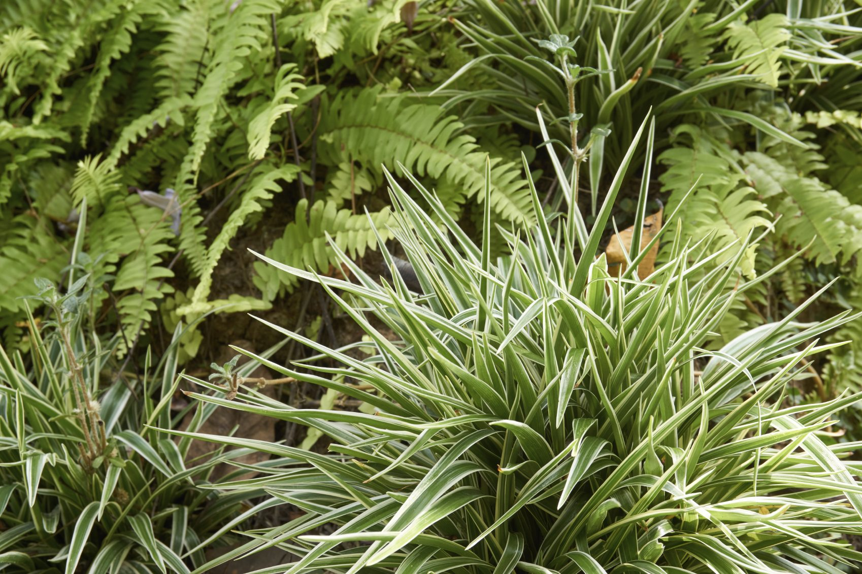 Can Spider Plants Be Outdoors – Tips On Growing Spider ...