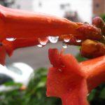 trumpet vine water