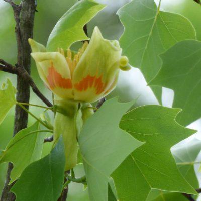 tulip-tree-bloom
