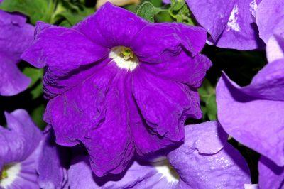 wilting petunia