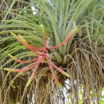 tillandsia plant seen in Cuba in natural ambiance