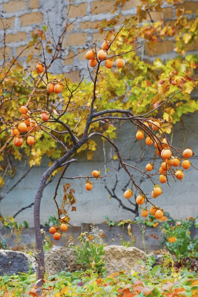 Persimmon tree in autumn with mature orange fruits