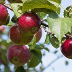 apple fertilizer