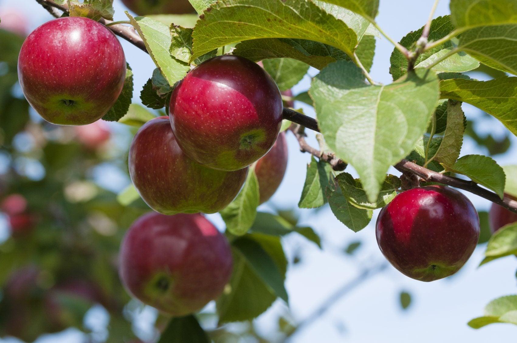 Fertilizing Apple Trees In The Garden Learn About Fertilizer For Apples