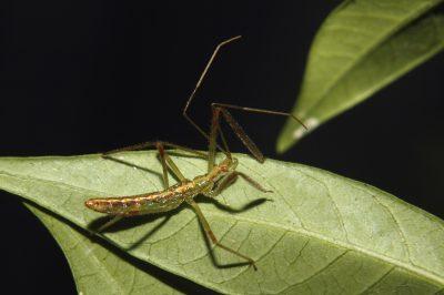 A green assassin bug nymph crawls along a leaf