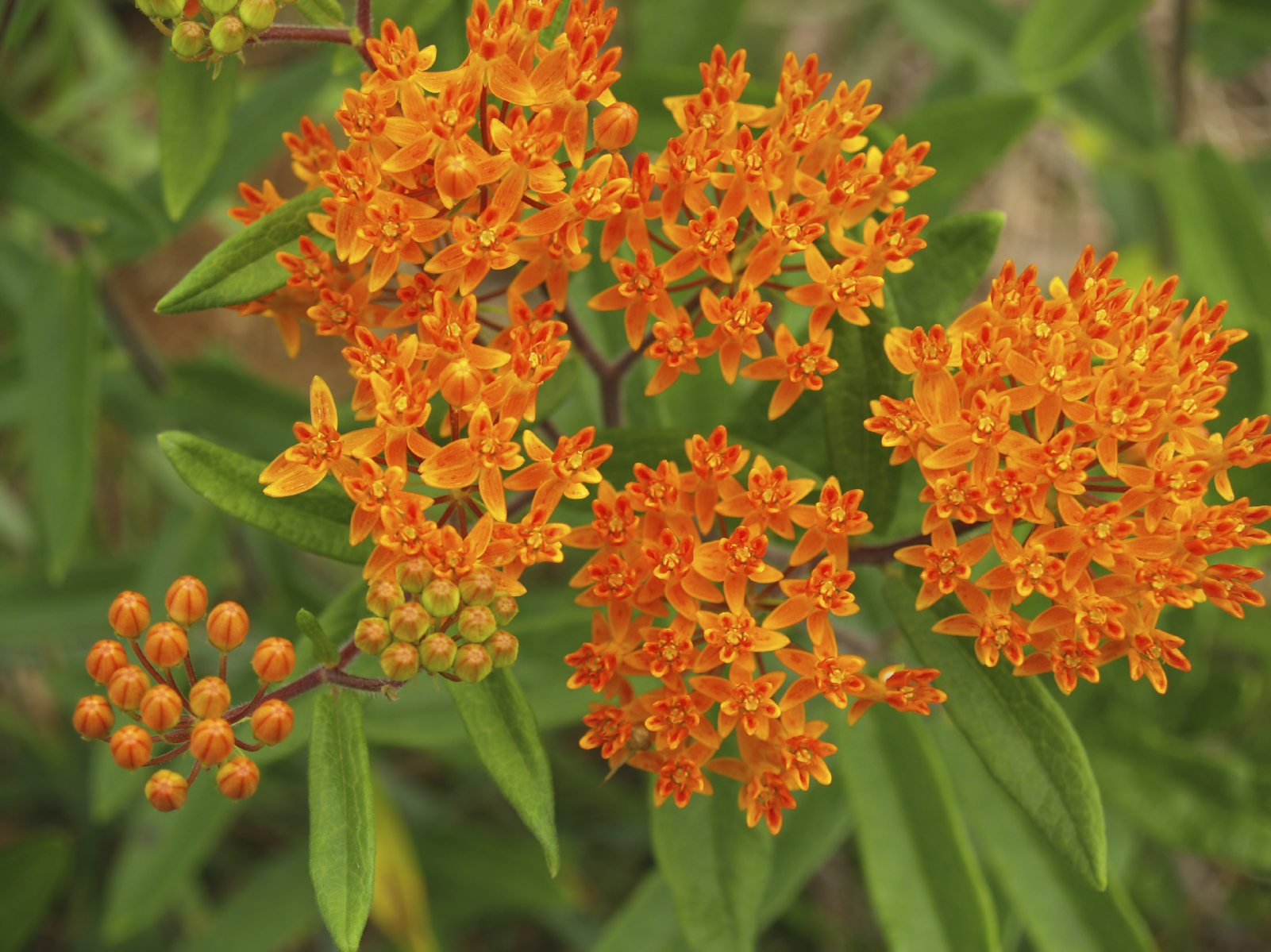 What Is A Butterfly Weed How To Grow Butterfly Weed In The Garden