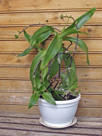 Indoor plant - medicative herb, basket plant or golden string
