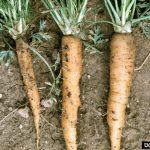 carrot disease