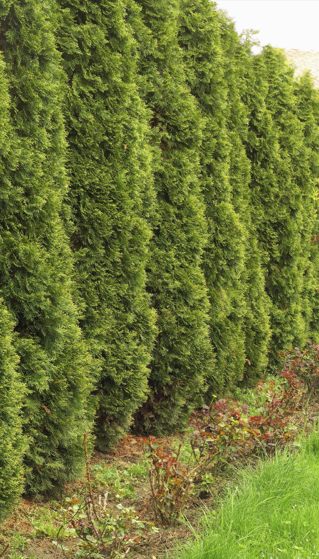 Evergreens With Quick Growth Learn About Evergreen Shrubs