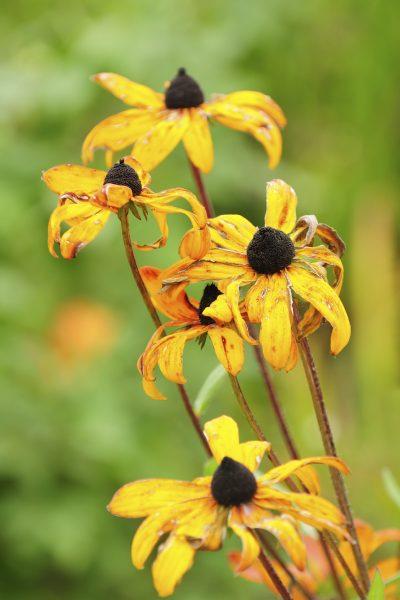 cutting blooms on rudbeckia deadheading black eyed susan flowers in