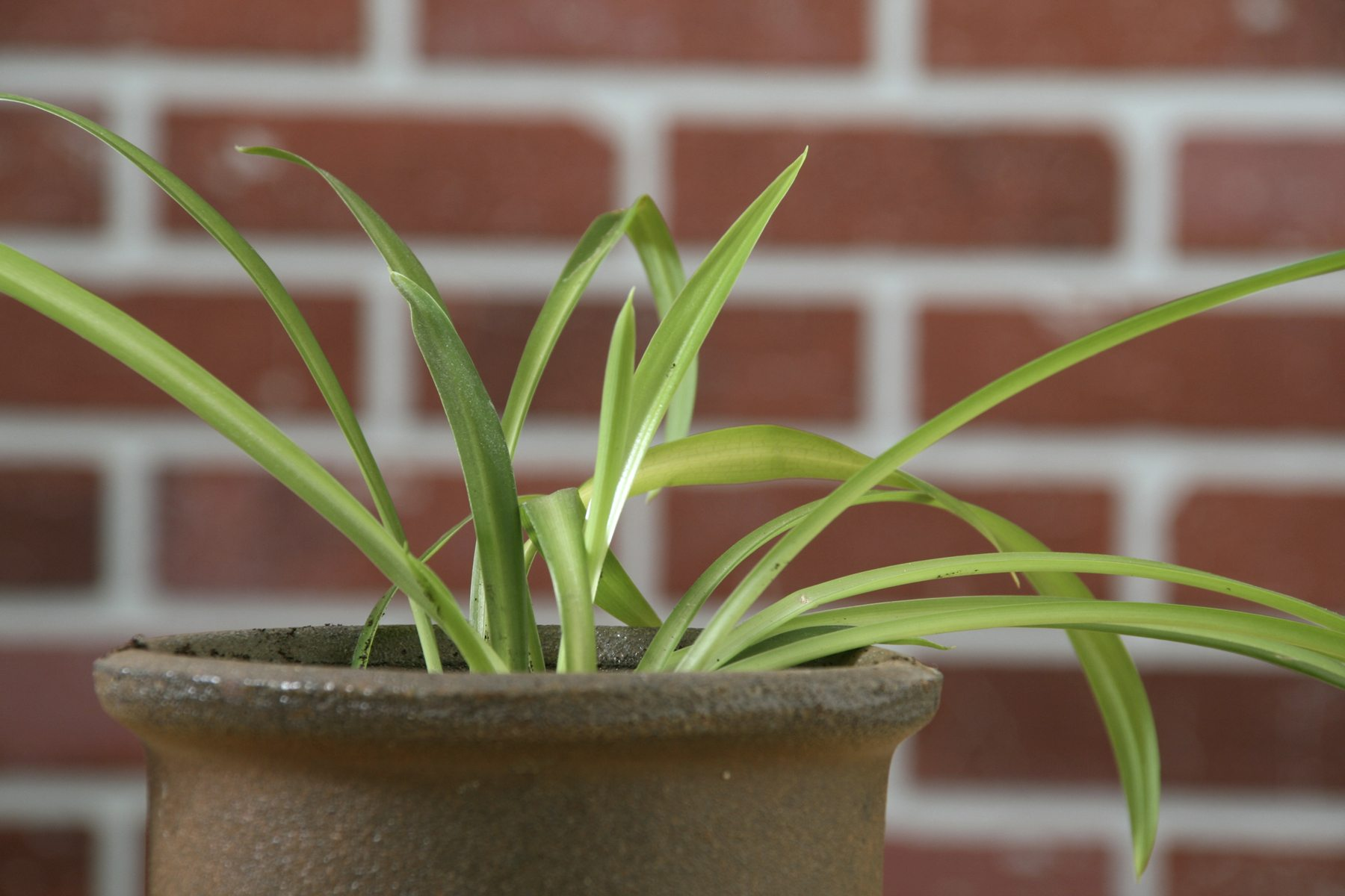 my spider plant is solid green reasons for a spider plant turning green. Black Bedroom Furniture Sets. Home Design Ideas