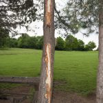 Peeled bark of a tree by lightning strike! The lightning bolt left a scar spiraling through the bark of the tree.