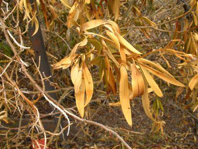 oleander disease