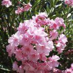 oleander fertilizer