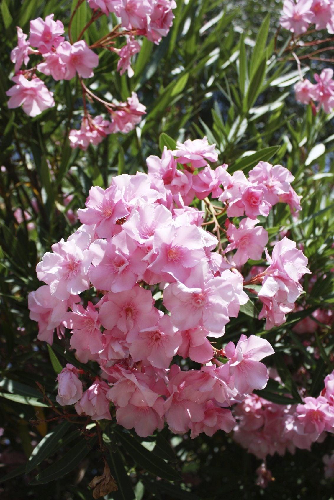 Fertilizing An Oleander What Is A Good Fertilizer For