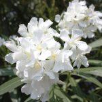 oleander variety