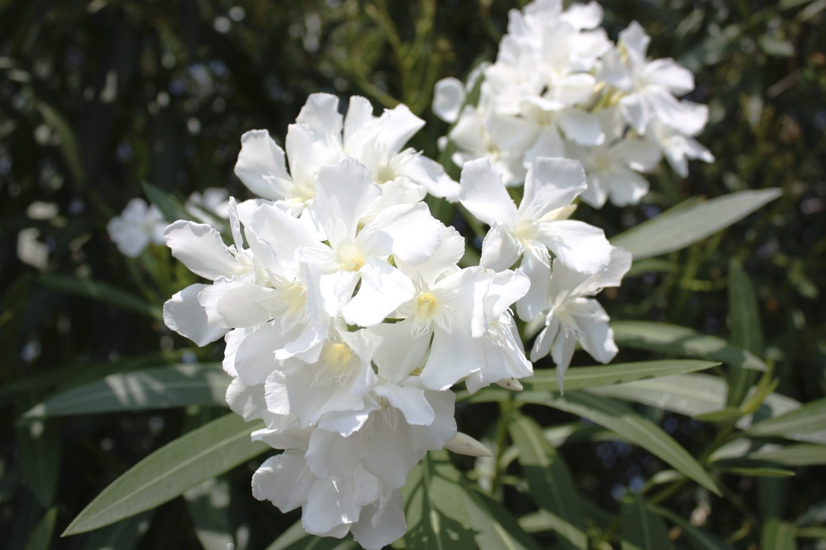 oleander plant types  what are some different kinds of