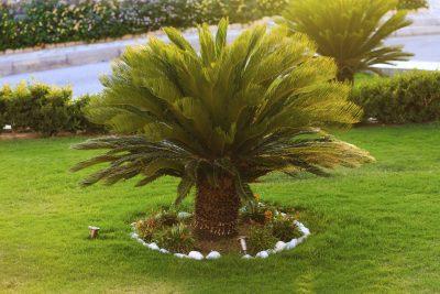 Good looking sago palm trees growing in the backyard