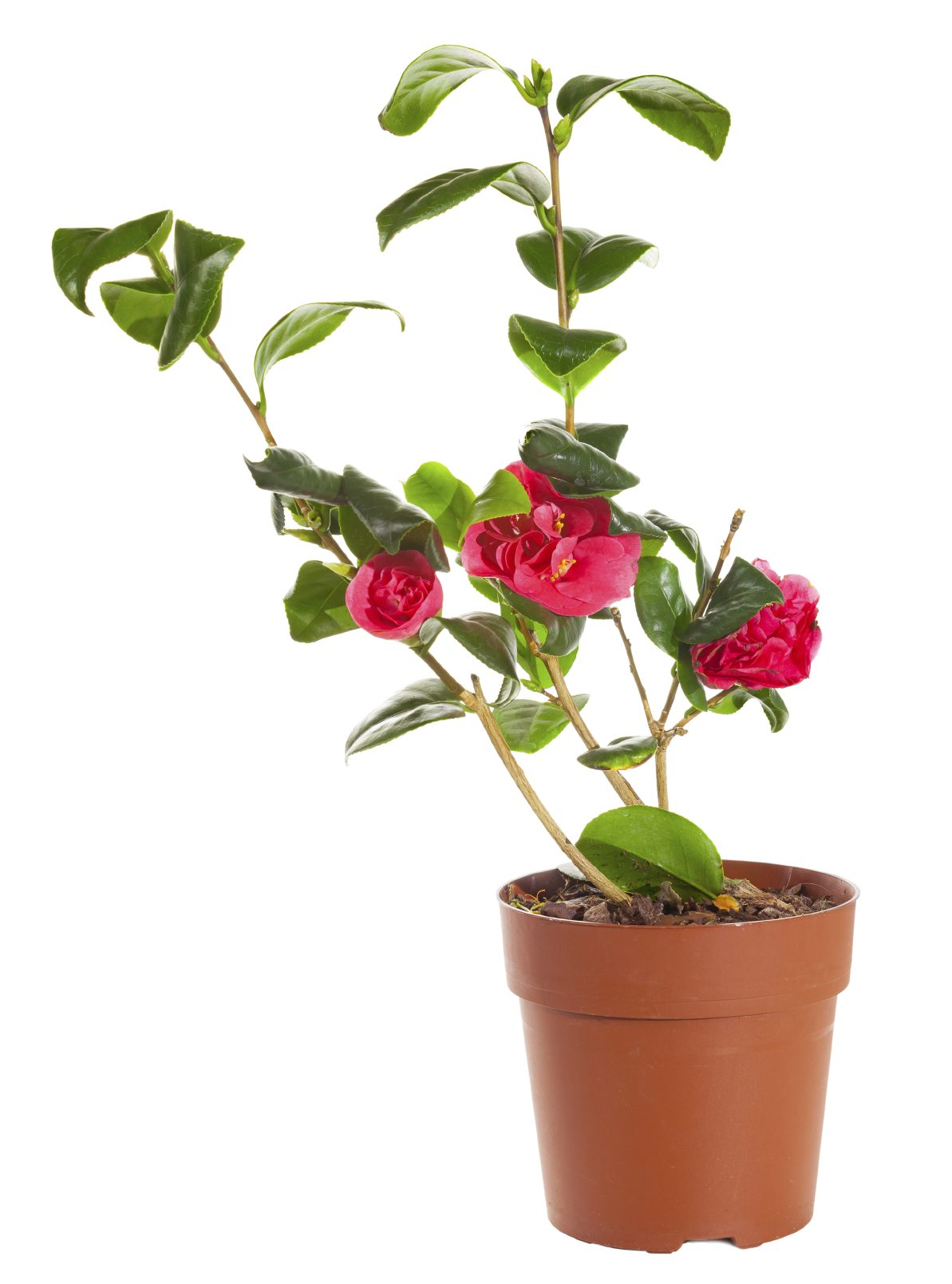 Forum on this topic: How to Care for Camellias, how-to-care-for-camellias/