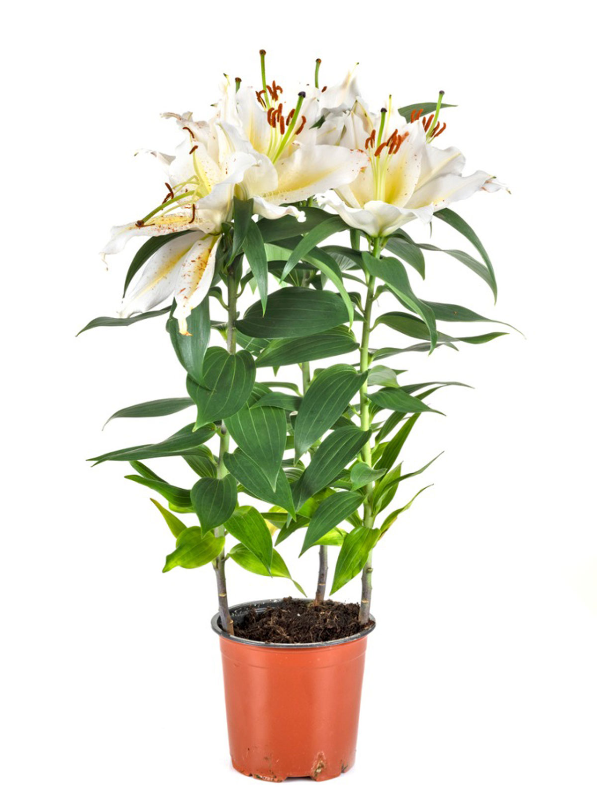 Container Grown Lilies How Do You Take