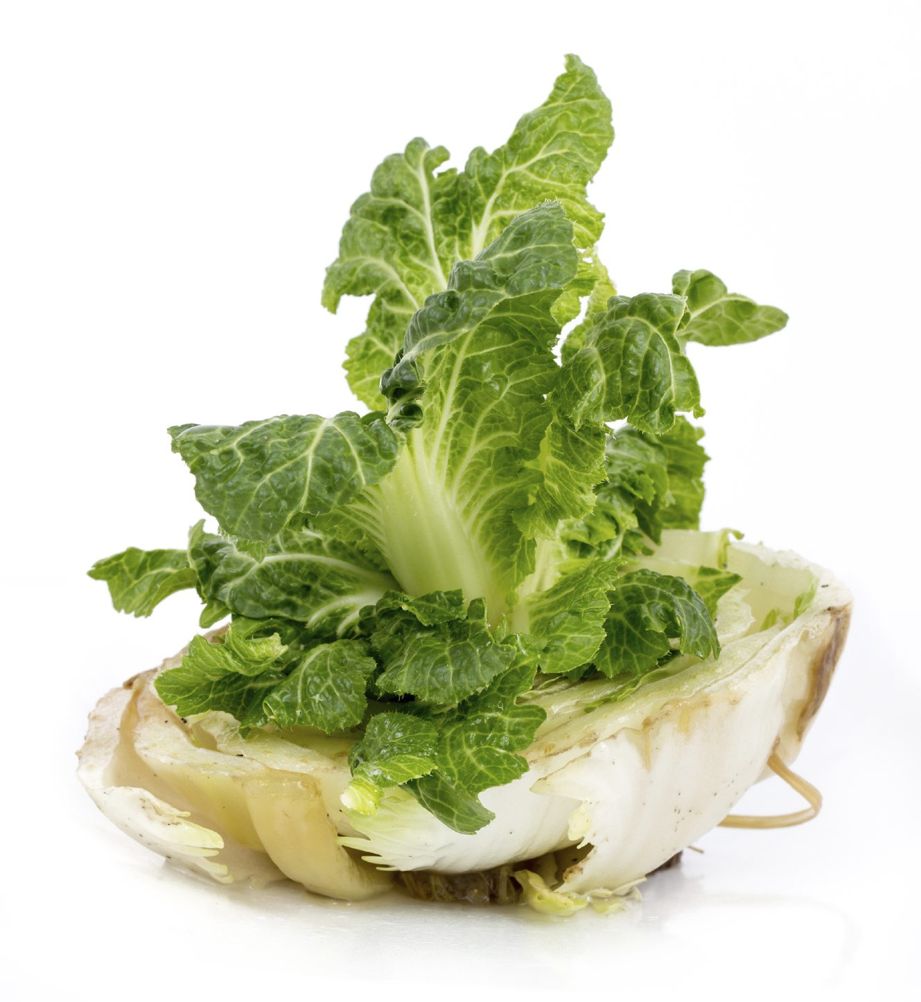 Regrow Veggies From Kitchen Scraps: Can I Regrow Cabbage In Water: How To Grow Cabbage From