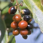 Closeup of ripe black and orange rumberries of the Myrciaria floribunda tree growing on Caribbean island Isla Culebra
