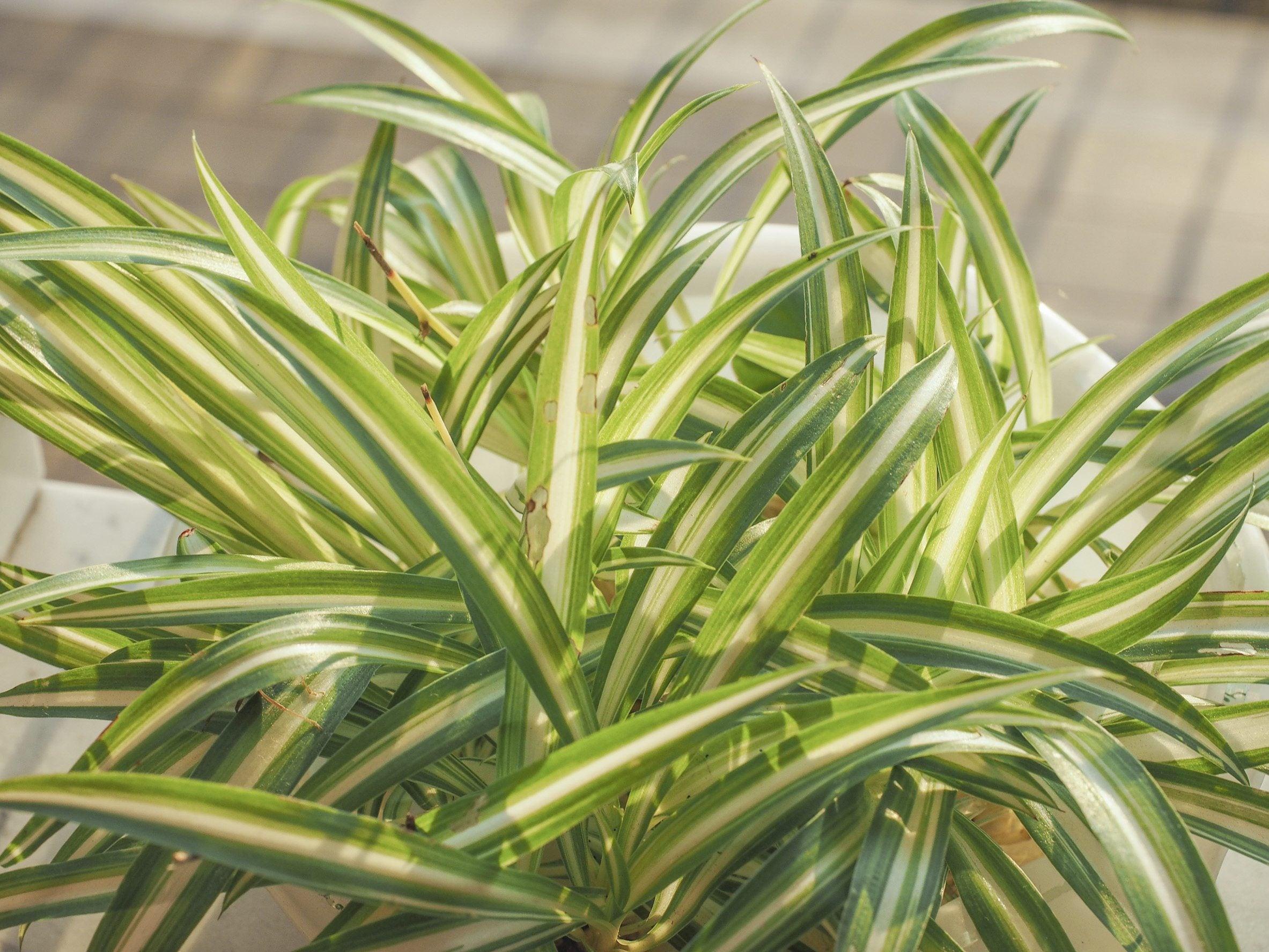 Best Lawn Fertilizer >> Spider Plant Fertilizer: Information On Fertilizing A ...