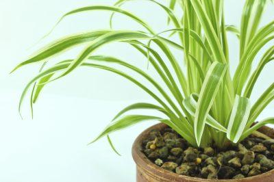 spider plant gnats